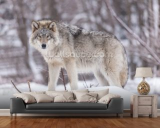 Timber Wolf mural wallpaper