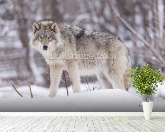 Timber Wolf mural wallpaper room setting