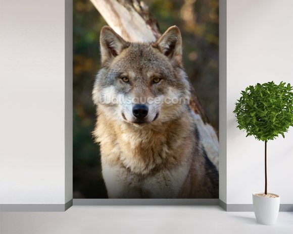Grey Wolf Wallpaper Wall Mural