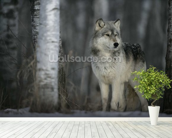 Grey Wolf Prowls mural wallpaper room setting