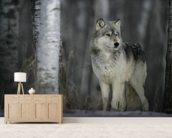Grey Wolf Prowls mural wallpaper living room preview
