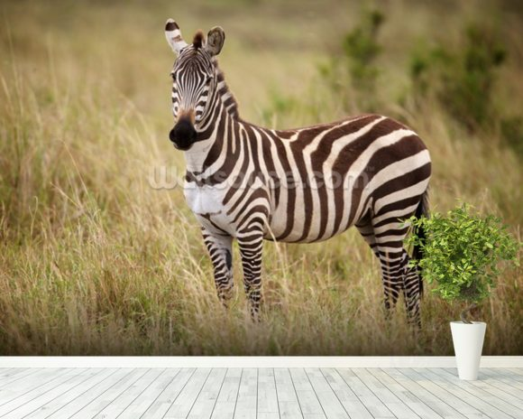 Zebra in Long Grass mural wallpaper room setting