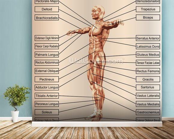 3d human male anatomy with muscles and text mural wallpaper room setting