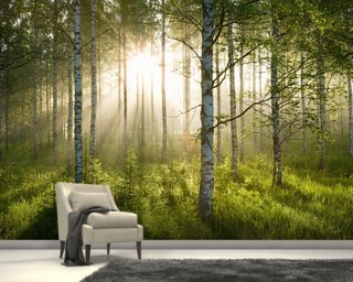 Birch Forest Sunlight Wallpaper Wallpaper Wall Murals