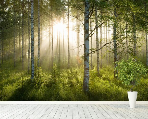 Birch forest sunlight wall mural birch forest sunlight for Birch trees wall mural