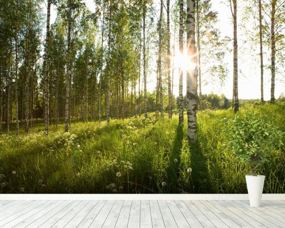 Sunlit birch tree woodland woodland sunrise wallsauce usa for Beautiful birch tree wall mural