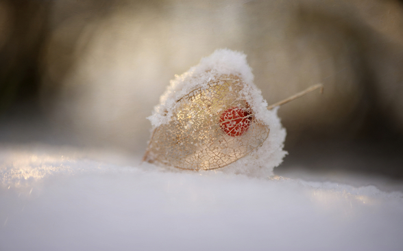 Physalis in Snow wall mural