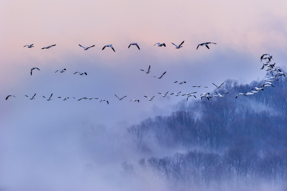 Snow Geese mural wallpaper