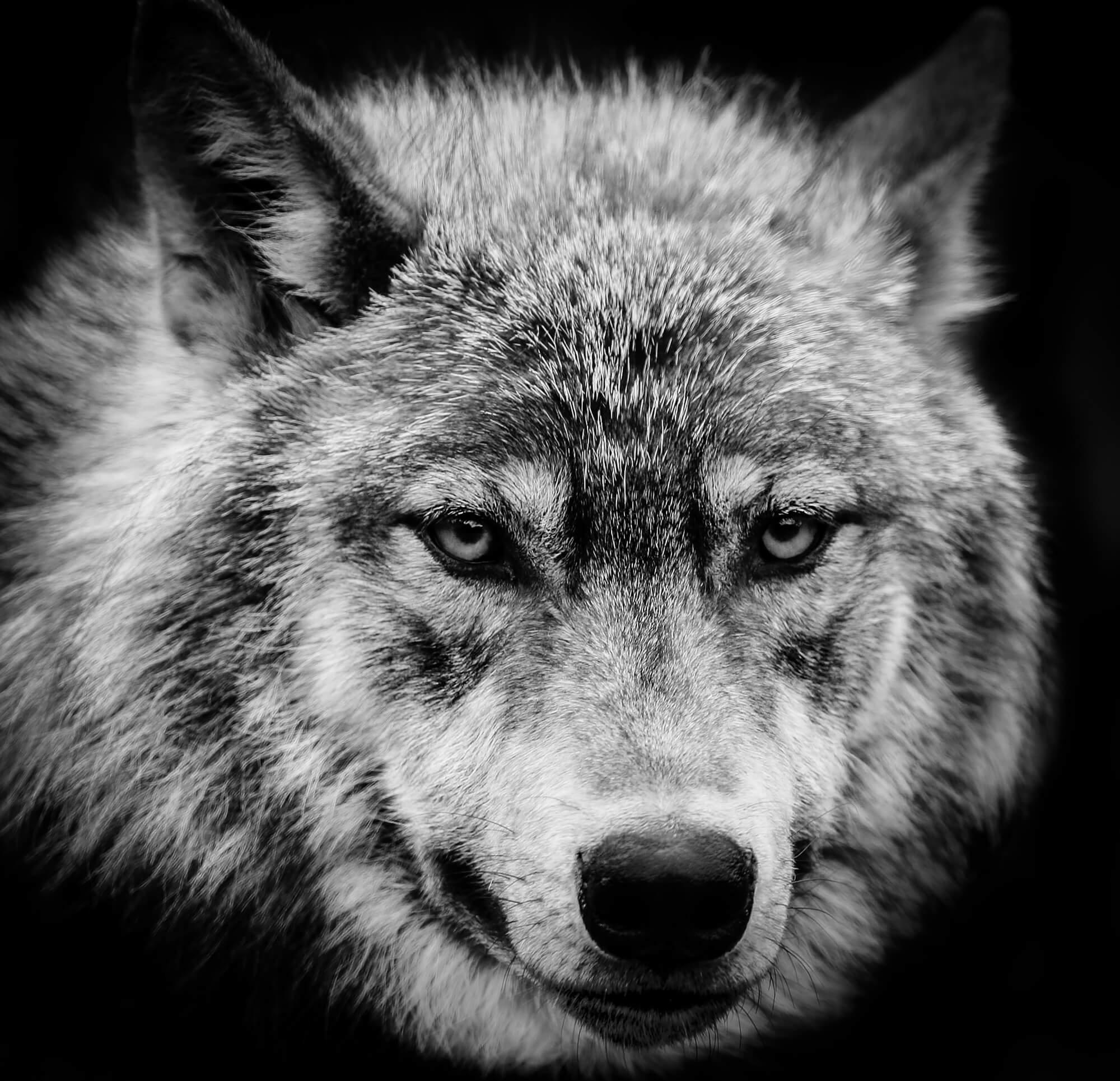 wolf eyes wall mural wolf eyes wallpaper wallsauce
