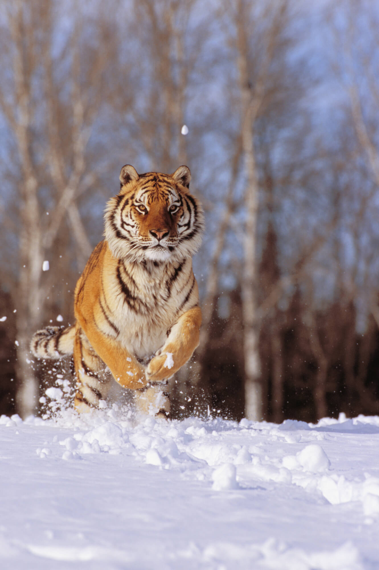Siberian tiger charging through winter snow wall mural siberian save your design for later amipublicfo Gallery