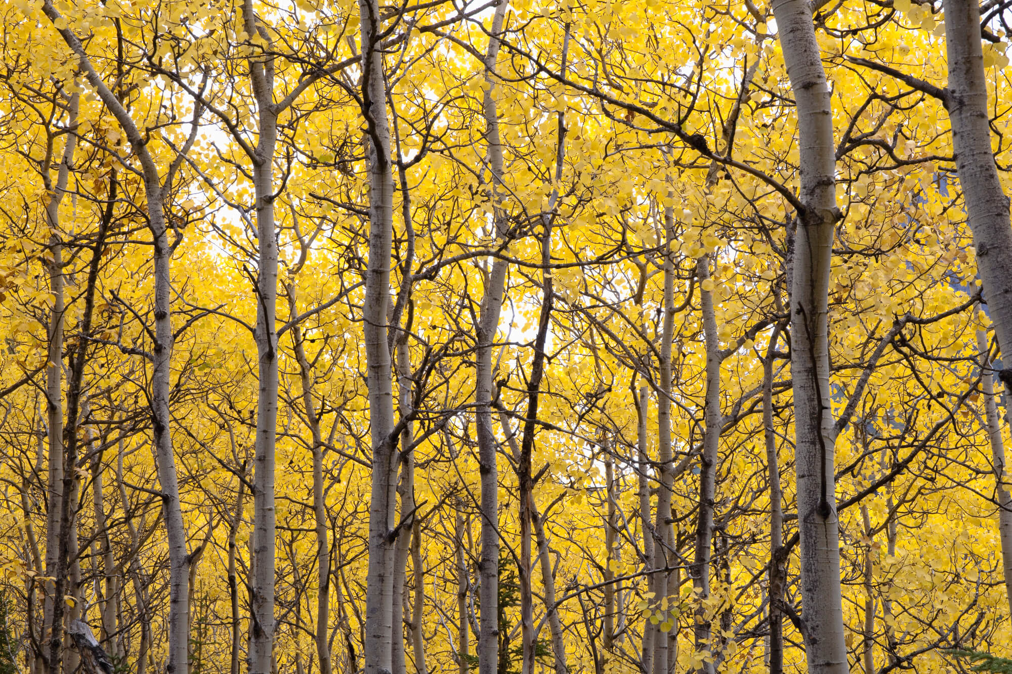 Autumn Scenic Of Colorful Yellow Aspen Trees Wall Mural Photo Wallpaper