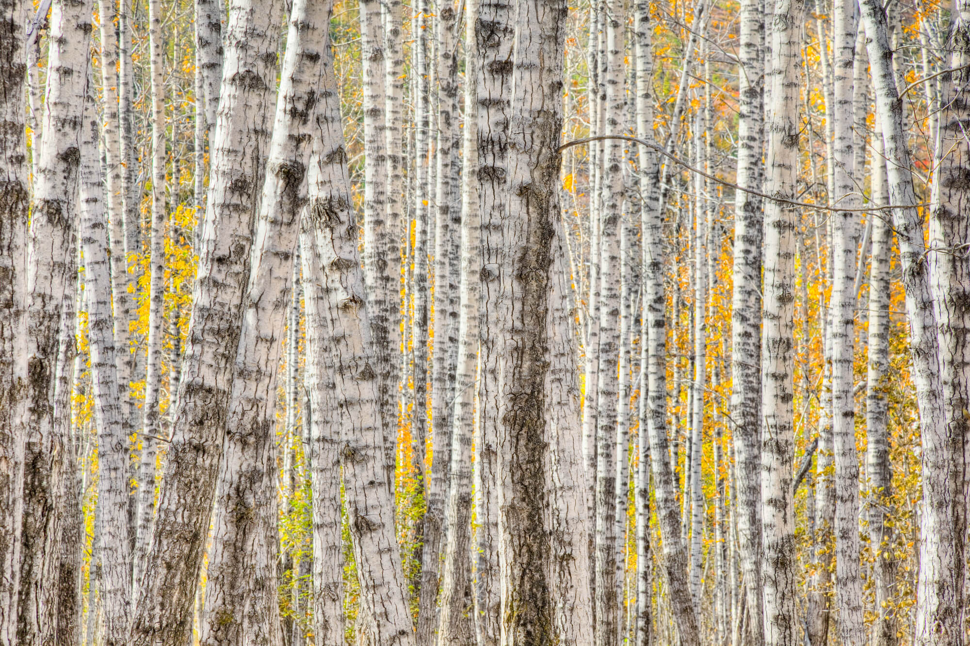 A Poplar Tree Forest In Autumn Wall Mural ...