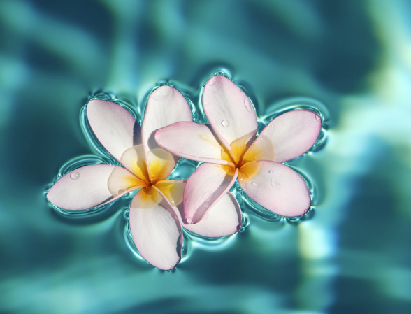 Two Plumeria Blossoms Floating On Water wall mural
