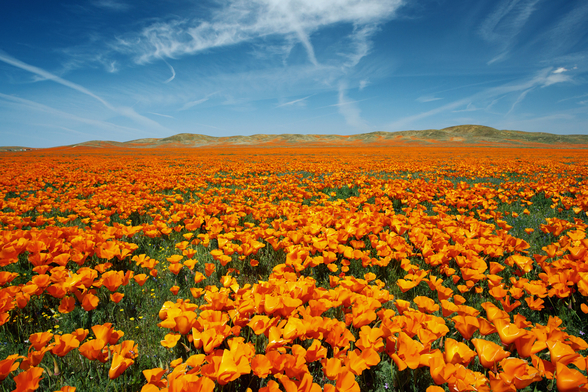 California, Lancaster, Vibrant Field Of California Poppies wallpaper mural