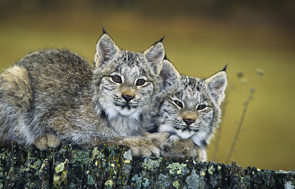 Lynx Kittens Cuddled Together On Rock wall mural