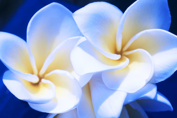 Detail Of White Plumeria Flowers wall mural