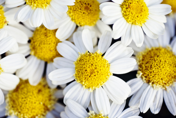 Summer Daisies - Cluster Of White Blossoms mural wallpaper