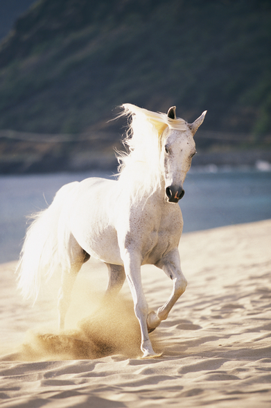 White Horse Running On The Beach mural wallpaper