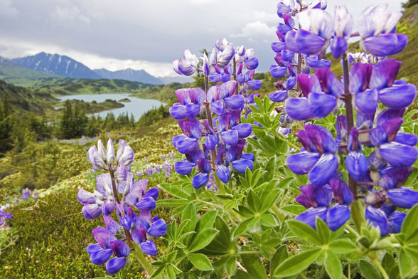Lupine Flowers Near Lost Lake Seward wall mural