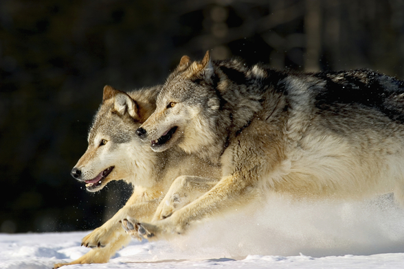 Pack Of Grey Wolves Running Through Deep Snow 2 wallpaper mural