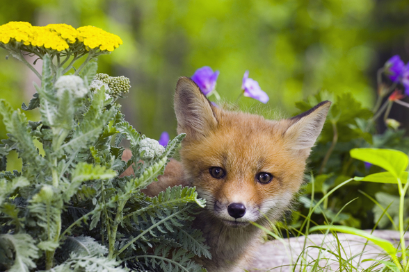 Red Fox Kit In Spring Wildflowers Minnesota wallpaper mural
