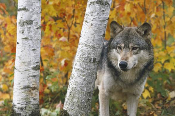 Wolf In Forest Autumn - Minnesota mural wallpaper