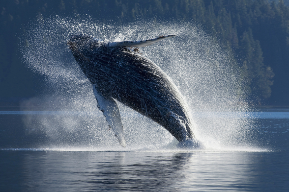 Humpback Whale Breaching - The Inside Passage mural wallpaper