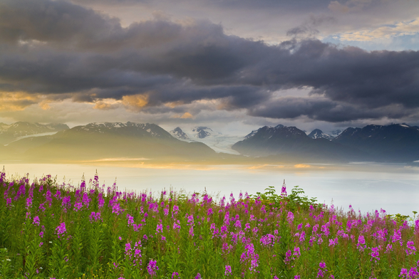 Field Of Fireweed On Hill Overlooking Kachemak Bay wall mural