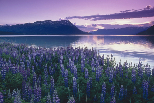 Sunset Turnagain Arm Field Of Lupine wall mural