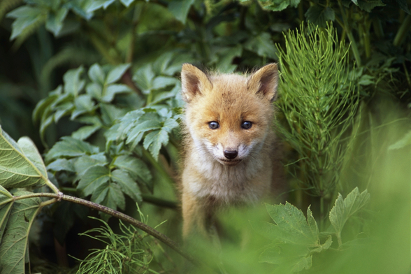 Kit Red Fox Peering Through Bushes wallpaper mural