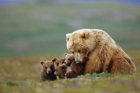 Grizzly Bear Sow with Young Cubs wall mural