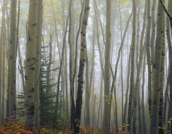 Foggy Aspen Forest Near Ester Interior wall mural