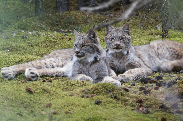 Pair Of Lynx Denali National Park wallpaper mural