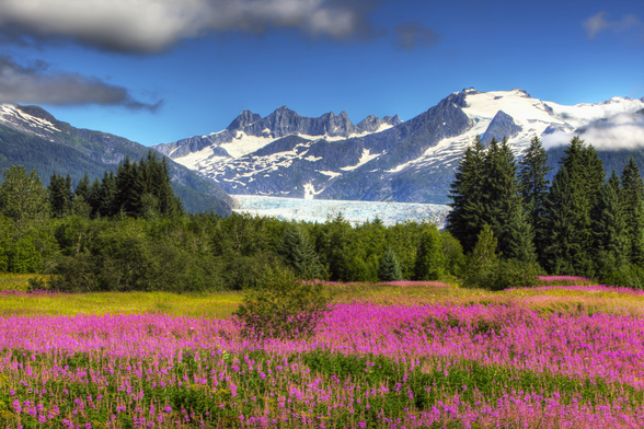 The Mendenhall Glacier with a Field of Fireweed mural wallpaper
