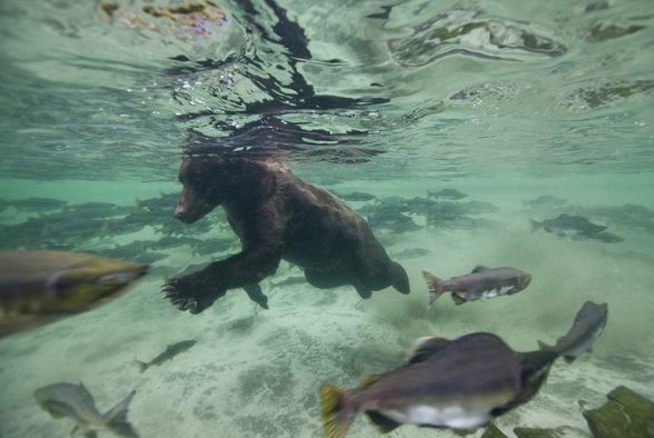 Grizzly Bear Swimming After Spawning Salmon mural wallpaper