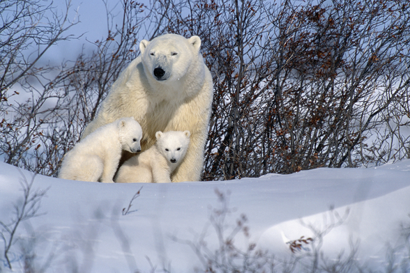 Polar Bear Sow & Cubs Resting In Snow mural wallpaper