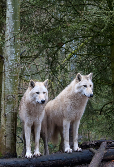 White Wolf Pair at the Woodland Park Zoo in Seattle wall mural