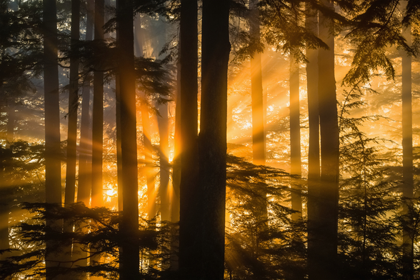 Sunrays Peak Through Fog and Trees mural wallpaper