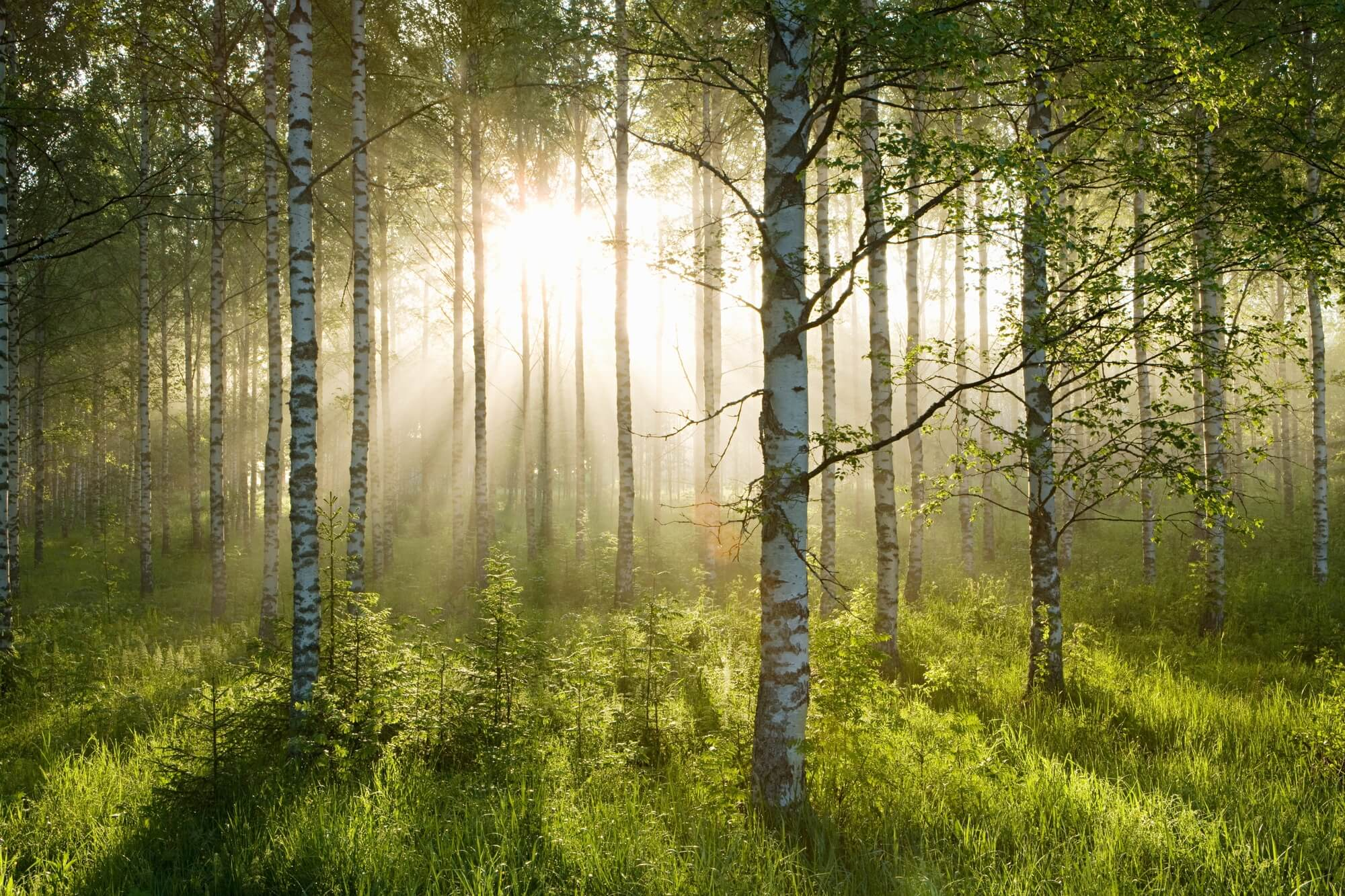 Birch Forest Sunlight Wall Mural \u0026 Birch Forest Sunlight Wallpaper  Wallsauce USA
