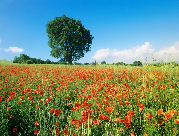 Sunny Spring Poppies wallpaper mural