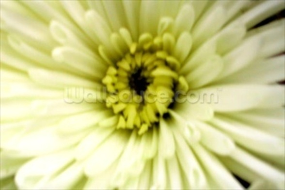 Birthday Flower (colour photo) wallpaper mural