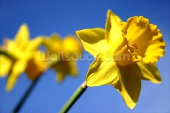 Daffodil Line (colour photo) mural wallpaper