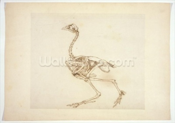 Dorking Hen Skeleton, Lateral View, from A Comparative Anatomical Exposition of the Structure of the Human Body with that of a Tiger and a Common Fowl, 1795-1806 (pen & ink and graphite on paper) wall mural
