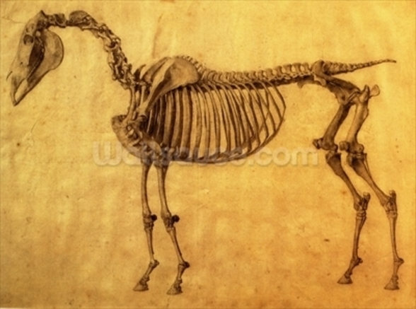 Finished Study for the First Skeletal Table of a Horse, c. 1766 (graphite on paper) wallpaper mural