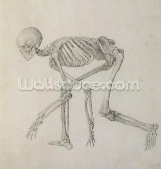 Human Skeleton: Lateral view in Crouching Posture, from the series A Comparative Anatomical Exposition of the Structure of the Human Body with that of a Tiger and a Common Fowl (graphite on paper) mural wallpaper