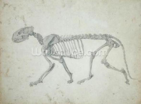 Lateral View of a Tiger Skeleton, finished study for Table IV of A Comparative Anatomical Exposition of the Structure of the Human Body with that of a Tiger and a Common Fowl, 1795-1806 (graphite on paper) wall mural
