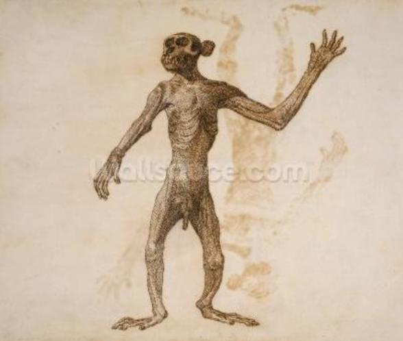 Monkey Standing, Anterior View (pen & ink over graphite on paper) mural wallpaper