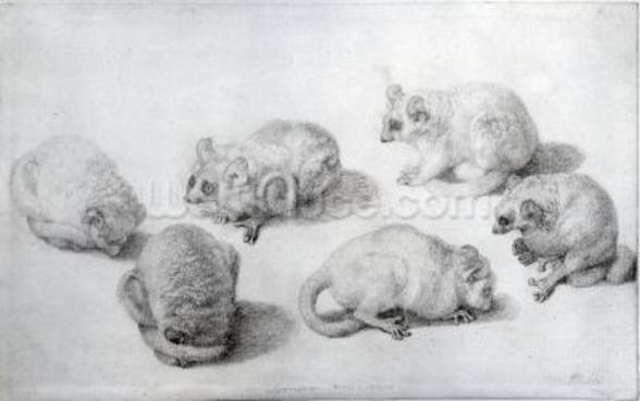 Studies of a Lemur, 1773 (graphite on paper) wall mural