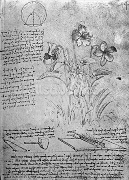 Studies of Violas (Viola odorata and Viola canina), fol. 14r from Manuscript B, c.1487-90 (pen and ink on paper) wall mural