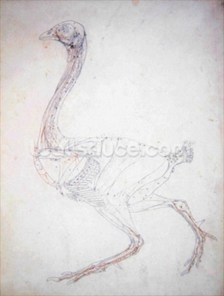 Study of a Fowl, Lateral View, Diagram for Key to Table XV, from A Comparative Anatomical Exposition of the Structure of the Human Body with that of a Tiger and a Common Fowl, 1795-1806 (graphite & red chalk on paper) wall mural